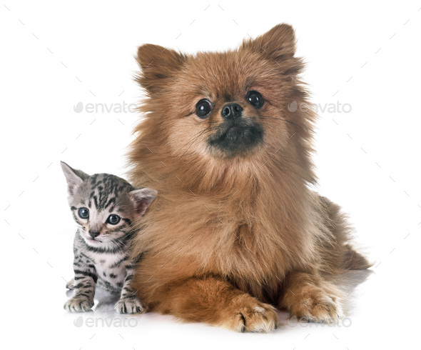 bengal kitten and pomeranian - Stock Photo - Images