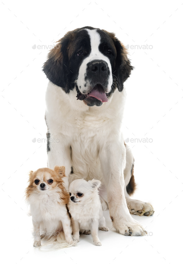 young saint bernard and chihuahuas - Stock Photo - Images