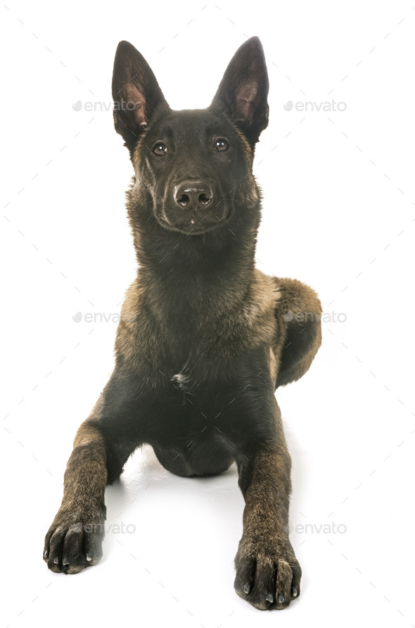 belgian shepherd malinois - Stock Photo - Images
