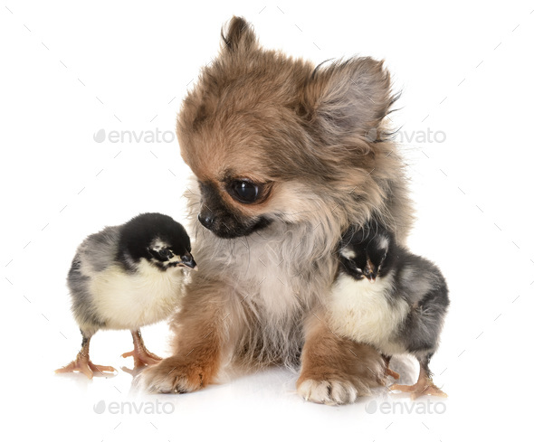 puppy chihuahua and chicks - Stock Photo - Images