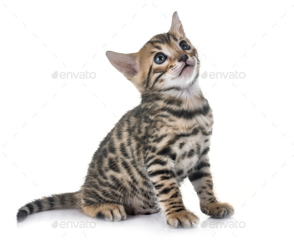 bengal kitten in studio - Stock Photo - Images