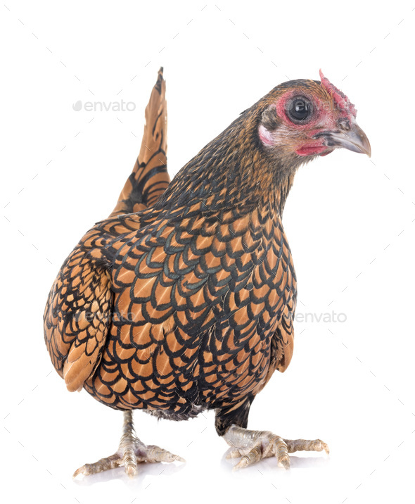 golden Sebright chicken - Stock Photo - Images