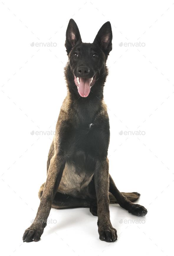 belgian shepherd malinois - Stock Photo - Images