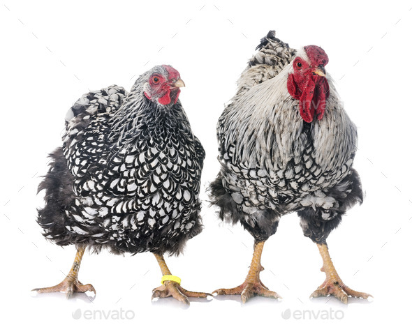 silver-laced Wyandotte chicken - Stock Photo - Images