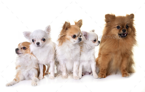 little dogs in studio - Stock Photo - Images