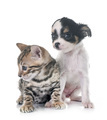 bengal kitten and puppy chihuahua - PhotoDune Item for Sale