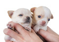 puppies chihuahua in studio - PhotoDune Item for Sale