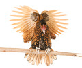 golden Sebright chicken - PhotoDune Item for Sale