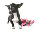 chihuahua in studio - PhotoDune Item for Sale