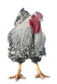 silver-laced Wyandotte chicken - PhotoDune Item for Sale