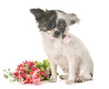 puppy chihuahua in studio - PhotoDune Item for Sale