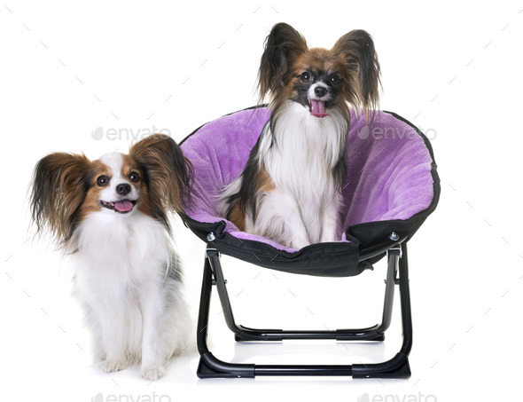 papillon dogs in chair - Stock Photo - Images