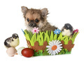 puppy chihuahua and chicks - PhotoDune Item for Sale