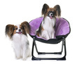 papillon dogs in chair - PhotoDune Item for Sale