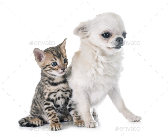 bengal kitten and puppy chihuahua - Stock Photo - Images