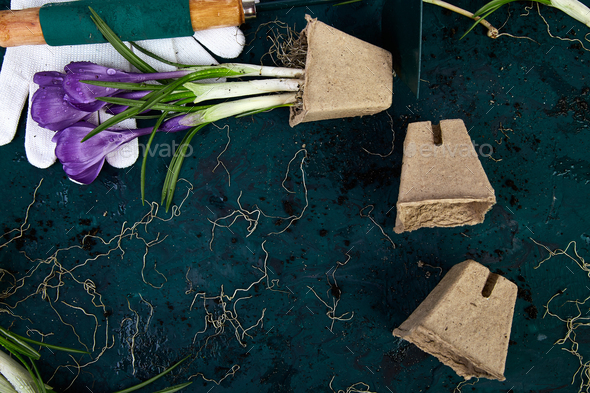 Gardening tools, peat pots, crocus flower. spring - Stock Photo - Images