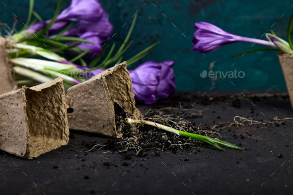 Gardening. Peat pots, crocus flower and  young seedlings. spring - Stock Photo - Images