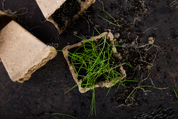 Peat pots with young seedlings, grass on a brown background. - Stock Photo - Images