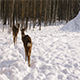 Two Sika Deer in The Winter Forest - VideoHive Item for Sale