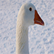 Domestic Goose - VideoHive Item for Sale