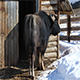 African Buffalo in Winter - VideoHive Item for Sale