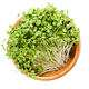 White mustard microgreen in wooden bowl over white - PhotoDune Item for Sale
