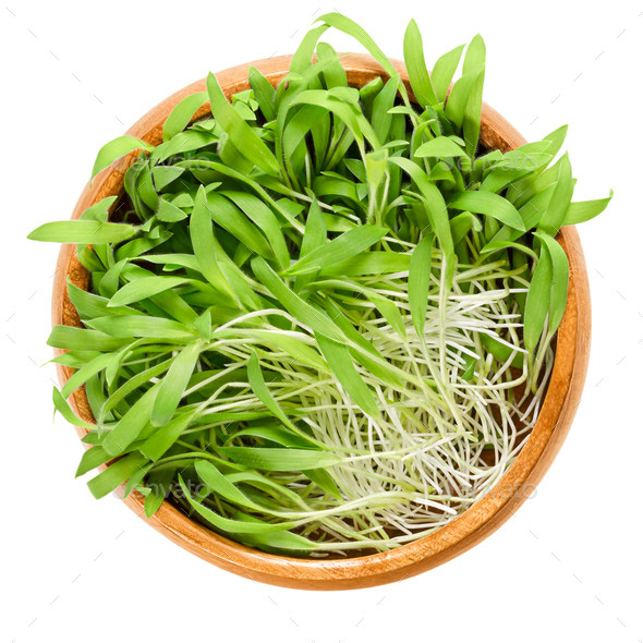 Brown millet microgreen in wooden bowl over white - Stock Photo - Images