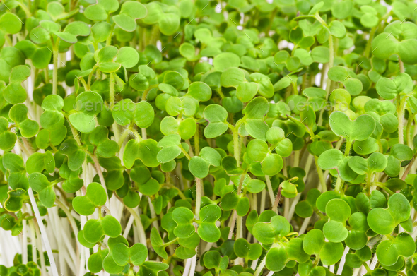 White mustard seedlings - Stock Photo - Images