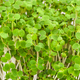 White mustard seedlings - PhotoDune Item for Sale