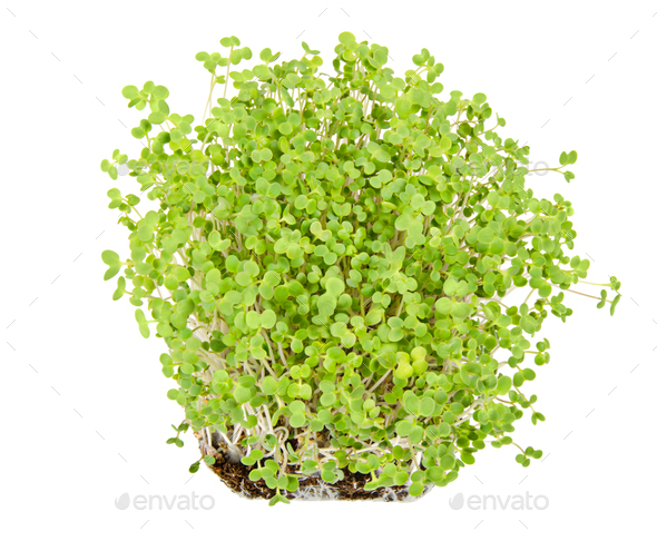 White mustard seedlings in potting compost over white - Stock Photo - Images