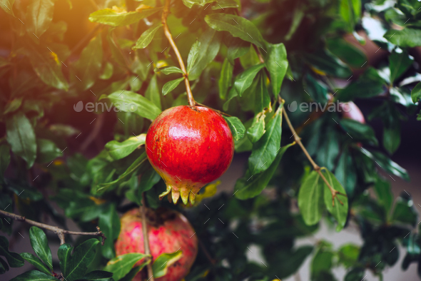 Ripe pomegranate fruit on the tree branch - Stock Photo - Images