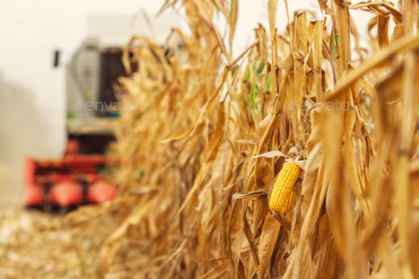 Harvesting corn crop field. Combine harvester working on plantat - Stock Photo - Images