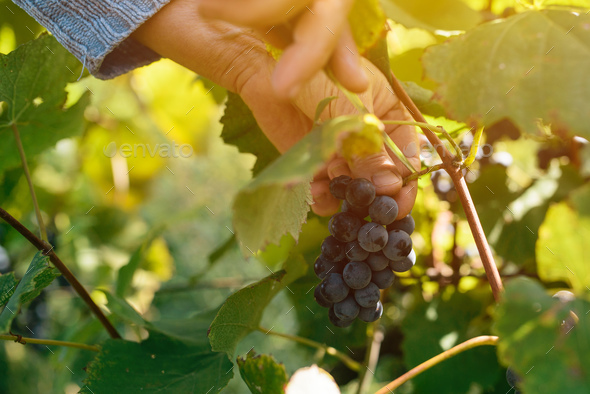 Female viticulturist harvesting grapes in grape yard - Stock Photo - Images