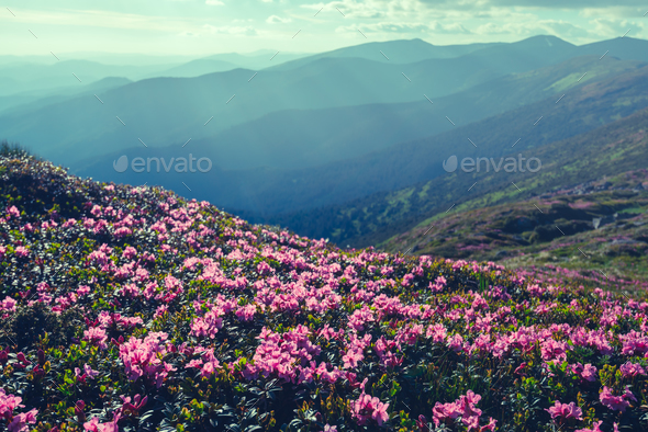 Magic pink rhododendron - Stock Photo - Images