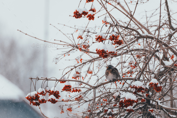 Fieldfare bird eating berries - Stock Photo - Images