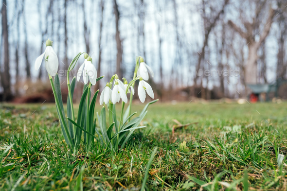 Snowdrop flower on spring meadow - Stock Photo - Images