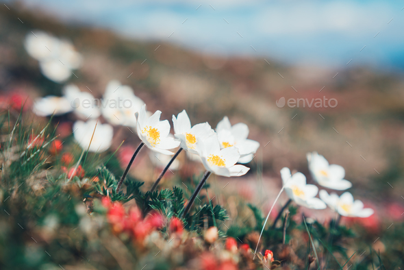 Beauty white flowers in high mountains - Stock Photo - Images