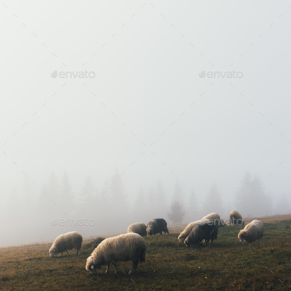 Herd of sheeps in spring mountains - Stock Photo - Images