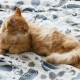 Cute Ginger Cat Lying in Bed. Fluffy Pet Is Going To Sleep. Cozy Home Background - VideoHive Item for Sale