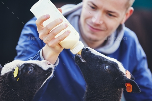 Feeding little lamb - Stock Photo - Images