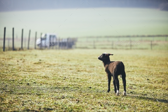 Lamb on the farm - Stock Photo - Images