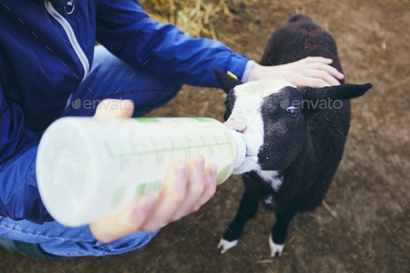 Feeding little lamb - Stock Photo - Images