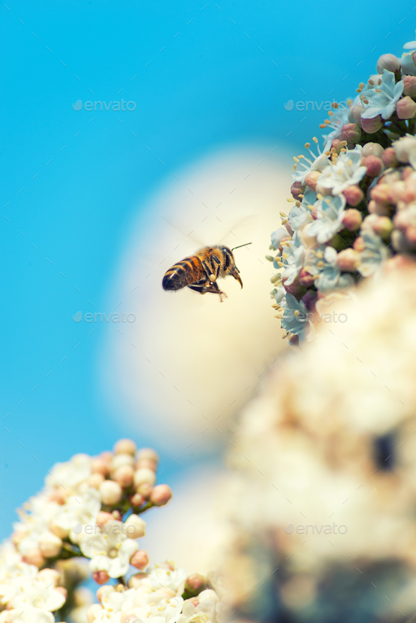 Bee on white flowers - Stock Photo - Images