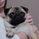 Girl Hugging a Cute Pug on a Soft Armchair. Portrait Indoors - VideoHive Item for Sale