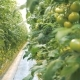 Green Coppice of Tomato Bushes Grows in a Warmhouse - VideoHive Item for Sale
