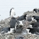 Chinstrap Penguins on the Nest - VideoHive Item for Sale