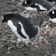 Gentoo Penguins on the Nest - VideoHive Item for Sale