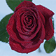 Scarlet Rose In The Drops Part 2 - VideoHive Item for Sale