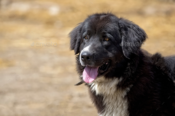 Black dog, a portrait  - Stock Photo - Images