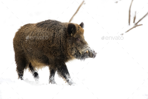 Wild boar in the wild - Stock Photo - Images